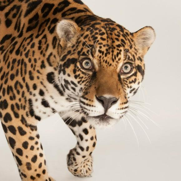 ONÇA jaguar